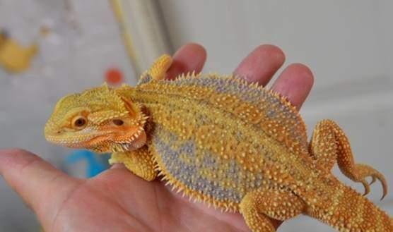 Dunner bearded dragon