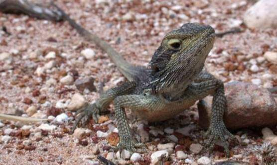 Dwarf bearded dragon – Pogona minor minima