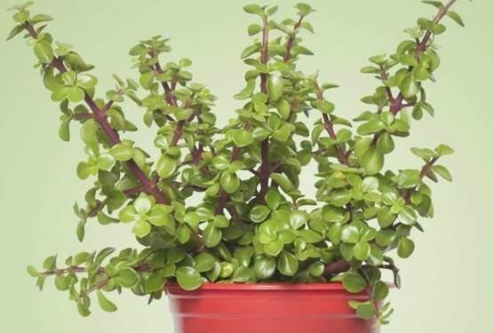 Elephant bush or dwarf jade plant