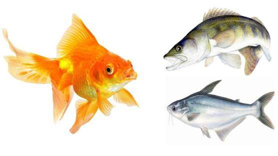 Fish including goldfish, salmon, tuna or feeder fish
