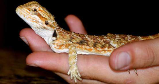 Fun things to do with your bearded dragon