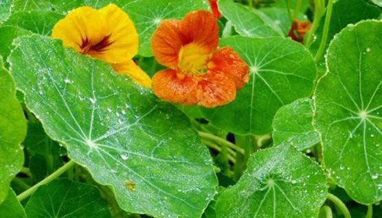 Garden nasturtium flowers and leaves