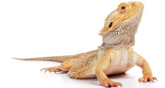 Healthy bearded dragon looks