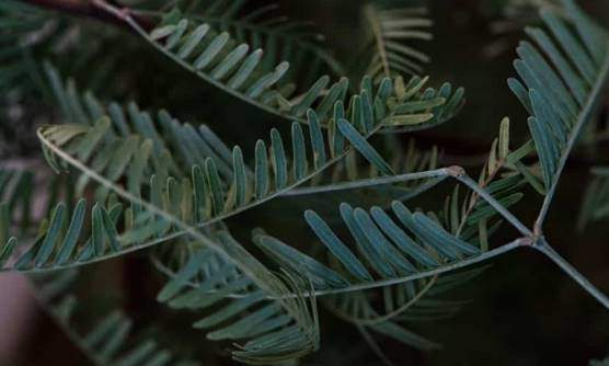 Honey and Chilean Mesquite leaves
