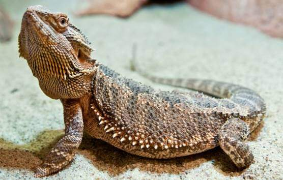 Inland or central bearded dragon