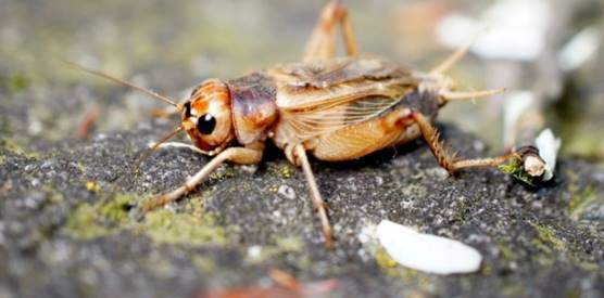 Jamaican crickets