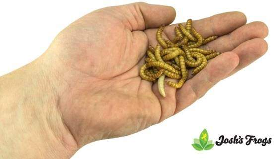 Josh's Frogs Giant Mealworms