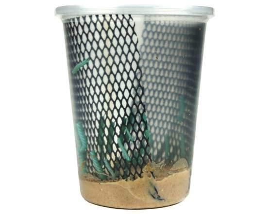 Josh's Frogs Hornworms Habitat Cup (25 Count Cup)