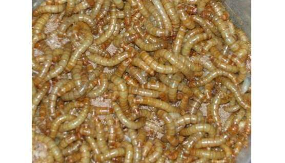 LIVE MEAL WORMS 500G SACK