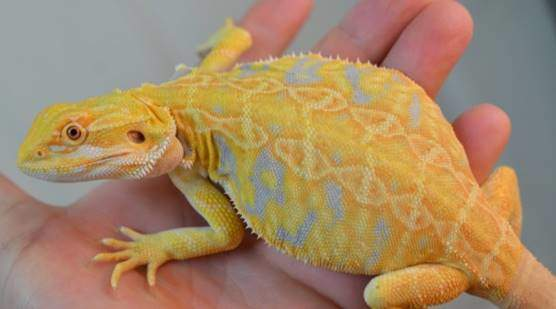 Microscale bearded dragons