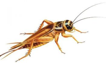 Where to Buy Best Live Crickets Cheaply