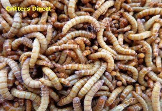 Mealworms 250 Gut Loaded