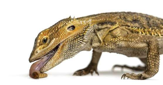 Mealworms for bearded dragons