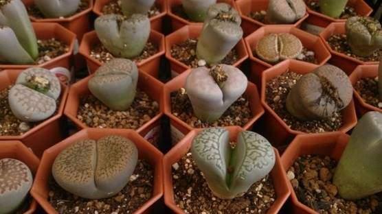 Pebble plants