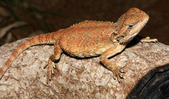 Pogona microlepidota or Kimberley Bearded Dragon