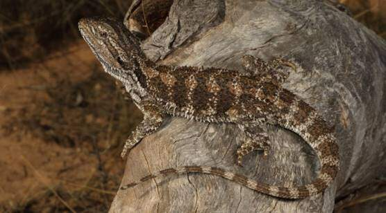 Pogona nullarbor or Nullarbor bearded dragon