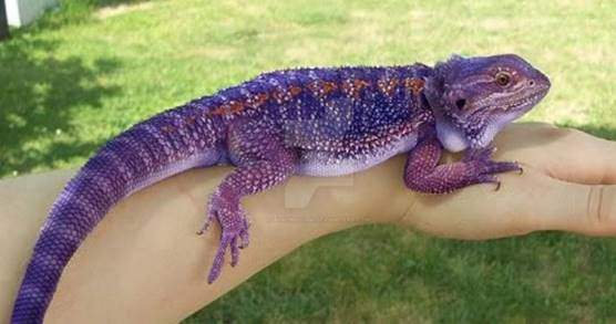 Purple bearded dragon
