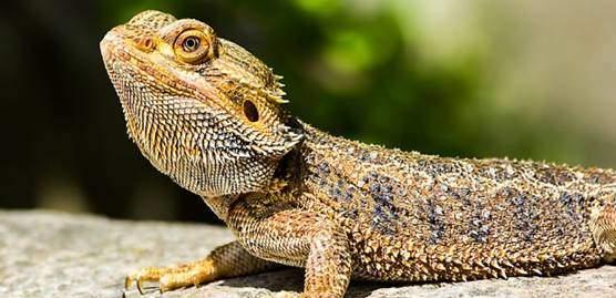 Standard bearded dragon