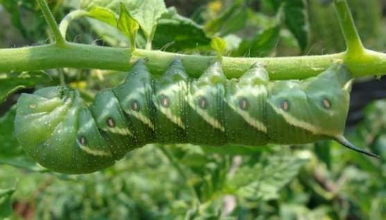 Tomato hornworms