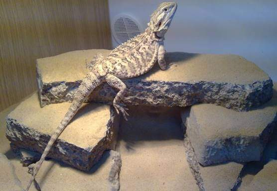 Vittikins Bearded dragon