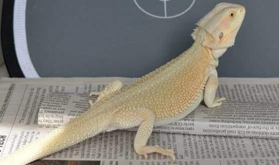 Witblits bearded dragon morph