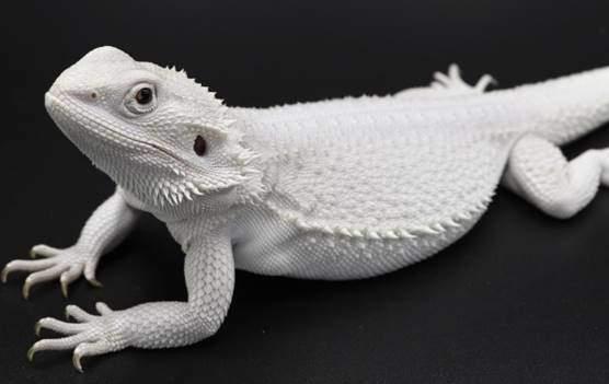 white bearded dragon