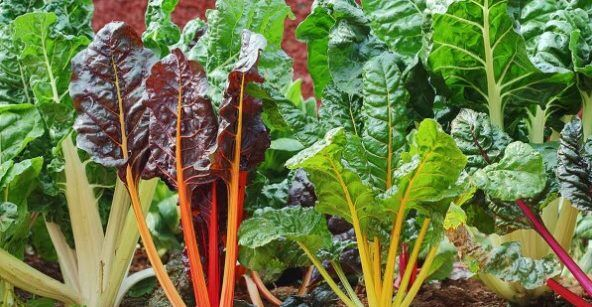 Can rabbits eat Swiss chard