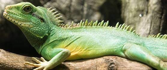 Pet water dragon