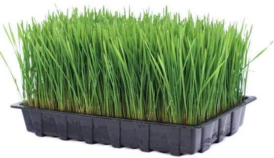 wheatgrass and rabbits