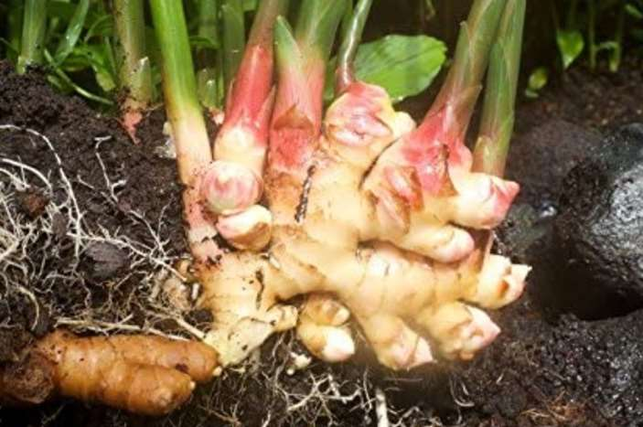 Can rabbits eat ginger including ginger root.