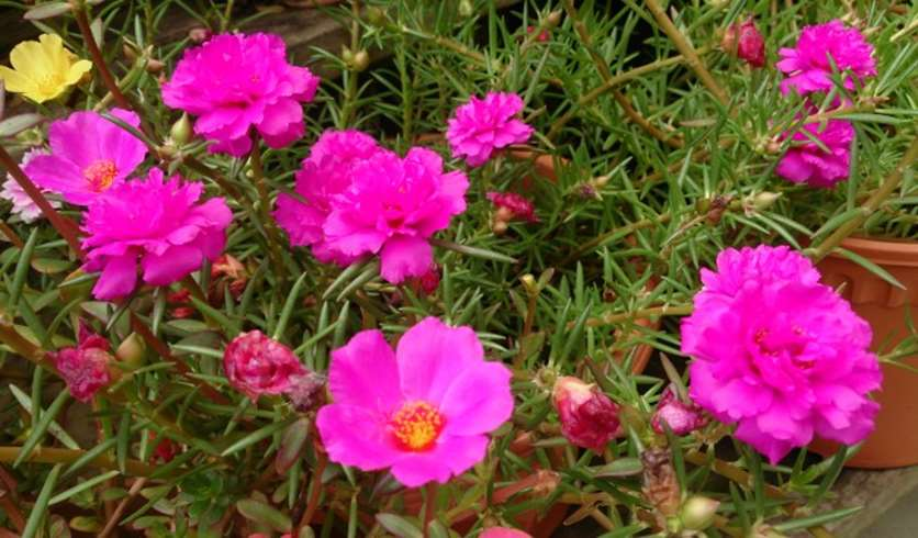Moss roses (Portulaca oleracea)