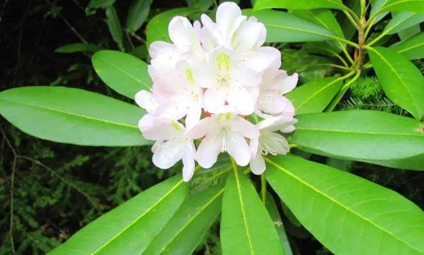Rosebay (Rhododendron spp.)