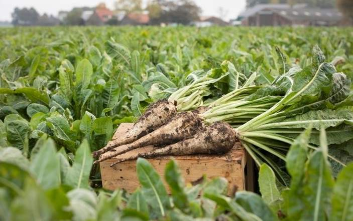 Chicory root and rabbits