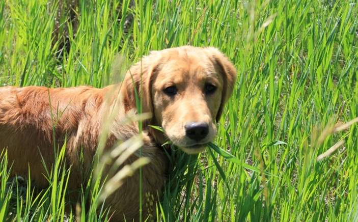 Why do dogs and puppies eat grass