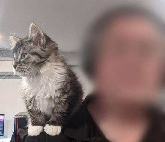 10 week kitten is a shoulder cat - imgur
