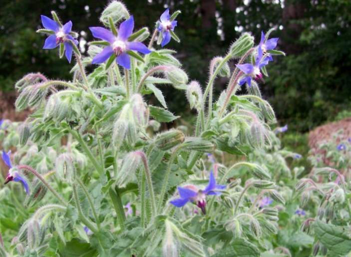 Borage and rabbits - Is it safe