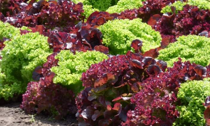 Green leaf and red leaf lettuce?