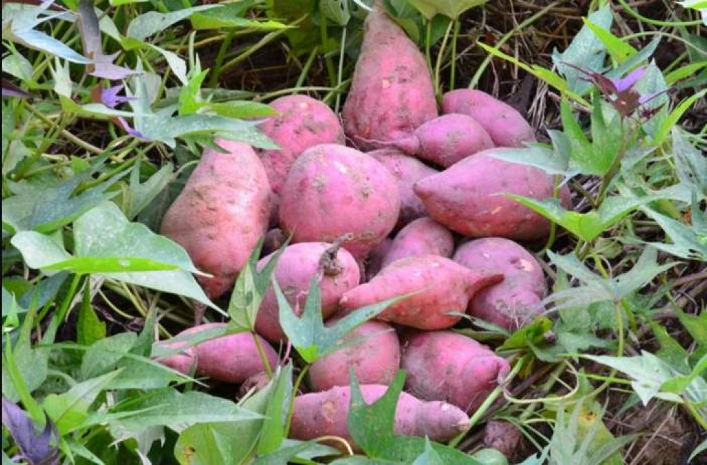 Can rabbits eat sweet potatoes and their vines