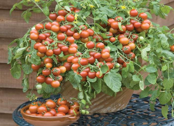 Cherry tomatoes - Can bunnies eat them