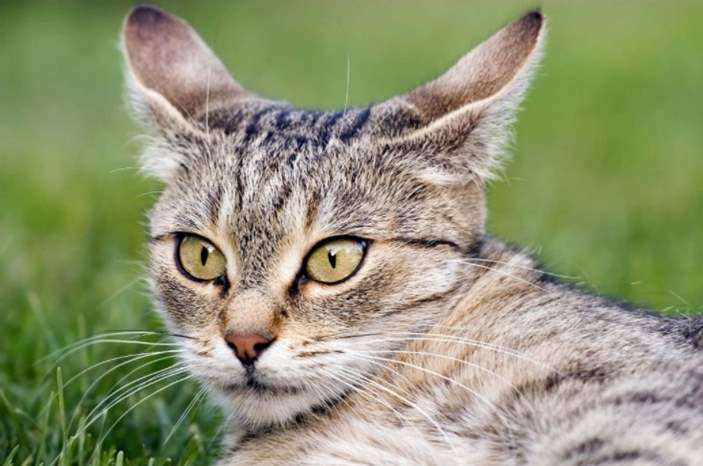 Why do cats shake heads