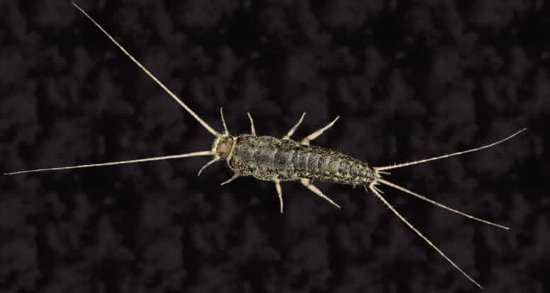 Can Cats Eat Silverfish Pet Care Advisors