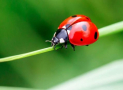 Are Ladybugs Poisonous to Dogs or Toxic