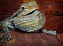 Bearded Dragon Color Change Meaning