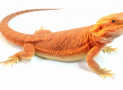 Knowing Your Bearded Dragon Better
