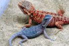 Bearded Dragon Morphs and Colorations