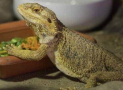 Bearded Dragons Not Eating? Here is Why