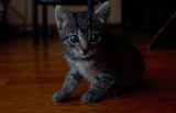 Benefits of Canned Wet Cat Food for Kittens