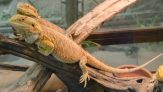 Can Two or More Bearded Dragons Live Together?