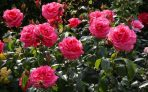Are Roses and Rose Petals Safe to Cats?