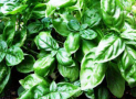 Can Cats Eat Basil or Is this Herb Poisonous